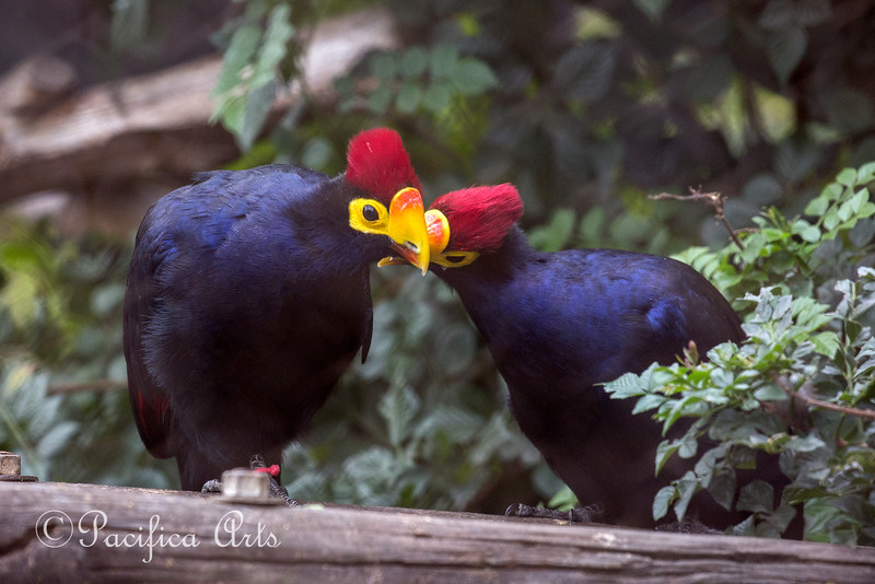 Two Turacos in the frame!  That hasn't happened before!  (Lady Ross's Turaco)