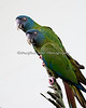 """Funniest looking photographer I've ever seen!""  ""You can say that again!""<br /> (Blue-headed Macaw)"