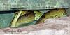 Green Anaconda going for a swim