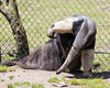 Evita has an itch. (Giant Anteater)