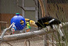 Hercules finds some treats in his enrichment ball.  (Southern Ground Hornbill)