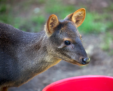 It's hard to get a close-up of these little antelope - they're pretty shy.  (Southern Pudu)