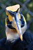 Hercules, from a different angle.  He's quite a handsome guy!  (Great Indian Hornbill)