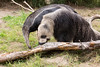 Evita searches under the bark for tasty bugs.  Her big claws tear off the bark, and that long tongue reaches in for the snack.  (Giant Anteater)