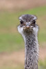 Greater Rhea.  This bird must have great peripheral vision!