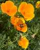 Bumble Bee on a California Poppy, at Greenie's Conservation Corner