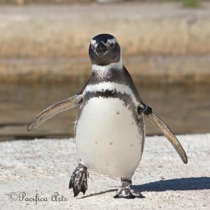 """""""Flip, Flop!""""   (Magellanic Penguin)"""