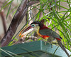 Toucans eat peas!  Who would have guessed?  (Curl-crested Aracari)