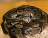 """Meet """"Hal"""", a Ball Python.  He's beautiful, and he's at the ARC!"""