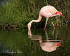 Adult Chilean Flamingo feeding in the pond.