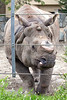 """""""How 'bout a carrot?!""""  <br /> (Gauhati, a Greater One-horned Rhinoceros)"""