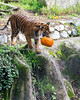 Jillian finds the second pumpkin and picks it up...<br /> (Sumatran Tiger)