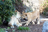"""Lion Greetings""  (Sukari & Cubby, African Lions)"