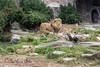 The Pride - Jahari, Sukari & Jasiri  (African Lions)