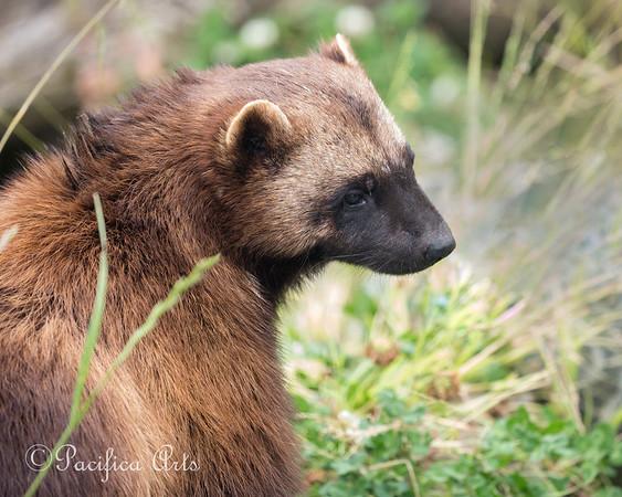 Female Wolverine, Kiwi
