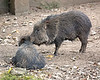 These Chacoan Peccaries live in a group, and do a lot of mutual grooming.