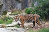 Sumatran Tiger, Jillian