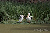 A couple of American White Pelicans near the Billabong.