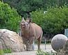 Boone puckers up!  (Black Rhinoceros)