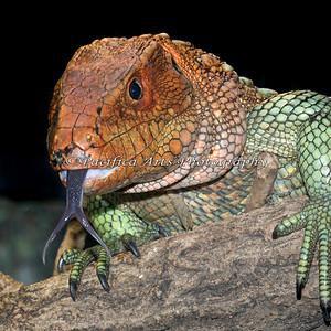 Caiman Lizard greetings!