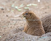 Black-tailed Prairie Dog, carrying down some bedding.