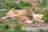 African Lion cub, Jasiri, now about 1/2 the size of mom, Sukari.