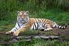 Stunningly beautiful J.T. (Siberian Tiger)