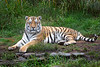 Stunningly beautiful J.T. (Siberian Tiger)