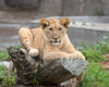 African Lion, Cubby, draped over a log.  He has now passed his 100 lb. mark!