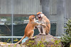 """You found a tasty snack, and didn't share it with your big sister?!""  <br /> (Patas Monkey siblings - Freeda & JP)"