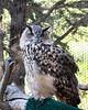 Eurasian Eagle Owl, Athena, at the Koret Animal Resource Center.  She's big and beautiful!
