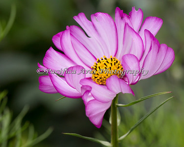 There is a beautiful garden near the Terrace Cafe!  Here is just one of the flowers there - a Cosmos flower.