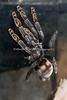 Here's a new, awesome Tarantula in the Insect Zoo!  Her markings are beautiful! (Venezuelan Suntiger Tarantula)