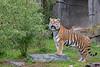 Big and beautiful, J.T. Bronevik!  (Amur or Siberian Tiger)