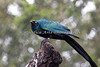 Long-tailed Glossy Starling in the African Aviary