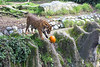 ...and drops it over the edge!<br /> (Sumatran Tiger, Jillian)