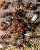 Red Harvester Ants  tending to their queen.  (She is in the center.  Her head is facing 10 o'clock, and her abdomen is pointing to 4.)