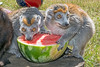 How do Lemurs stay cool on the 4th of July?  By eating watermelon! (Crowned Lemurs)