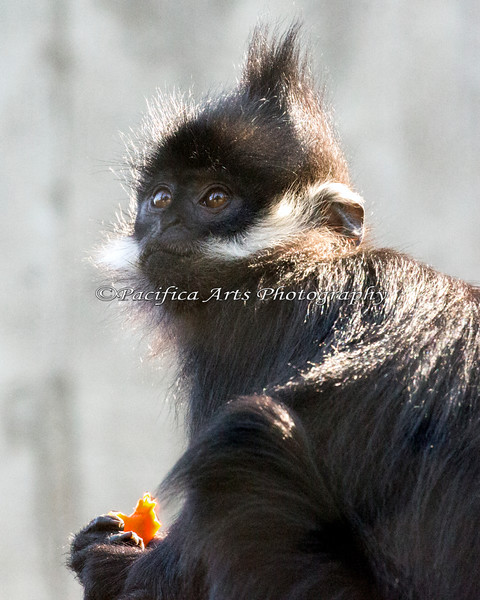 A young Francois' Langur munching on a snack.