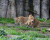 Brace yourself, Mom!  Here he comes!  (African Lions, Sukari & Cubby)