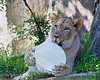 Go ahead!  Chuck a meat ball in there!  <br /> (African Lion, Jasiri)