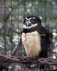 """You can find this Spectacled Owl, """"Quetzal,""""  near the Children's Zoo."""