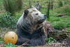 Kachina, with one of her enrichment balls.  (Grizzly Bear)