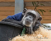 Maggie, all wrapped up and snuggled down.  (Chimpanzee)