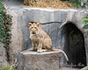 Happy 1st Birthday Jasiri!  (African Lion)