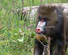 Female Mandrill with a take-out lunch.