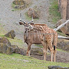 Baby Ingrid (Reticulated Giraffe) meets the Greater Kudu on the African Savannah.