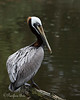 Brown Pelican in beautiful breeding plumage