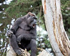 Hasani, sitting way up on top on a tree, watching the other gorillas.  (Western Lowland Gorilla)