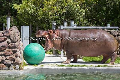 Bruce, showing that enrichment ball who's boss!  (Nile Hippopotamus)